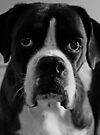 Arwen's Portrait in Black and White  -Boxer Dogs Series- by Evita