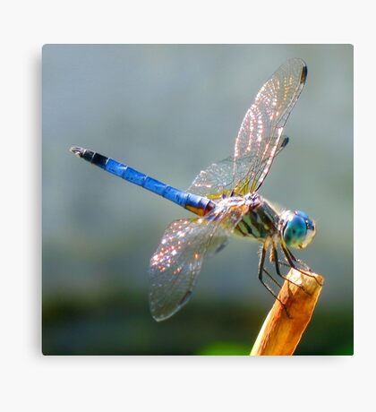 Oh Dragonfly Canvas Print