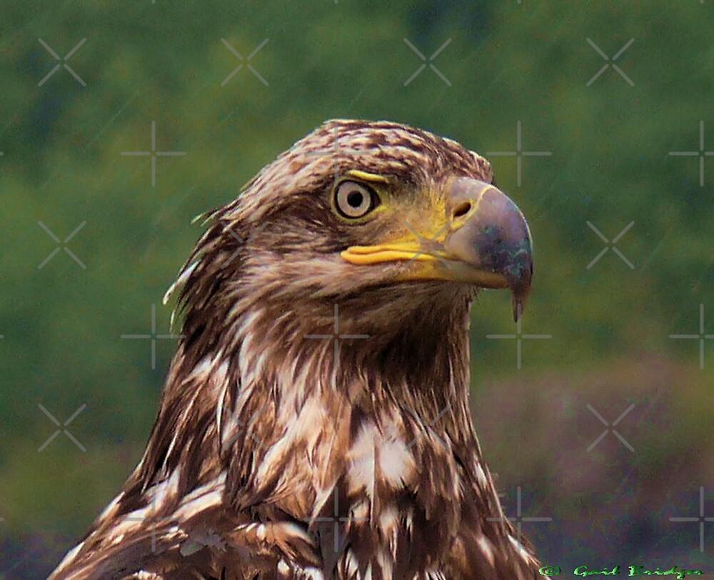 Portrait Of An Eagle 2 by Gail Bridger