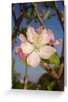 Apple Blossom by taiche