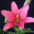 Asiatic Lilly by Paul Birch