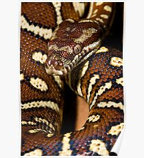Centralian Carpet Python Poster