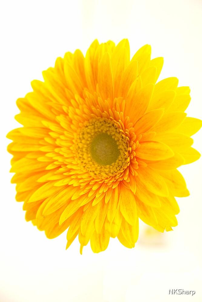 Yellow Gerbra flower on white background by NKSharp