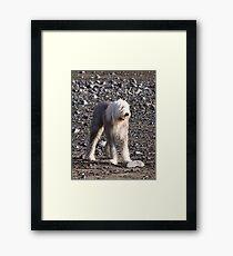 Leggy Old English Sheepdog Framed Print