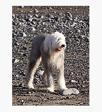Leggy Old English Sheepdog Photographic Print