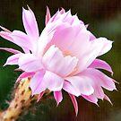 Flowering Cactus by Kasia-D