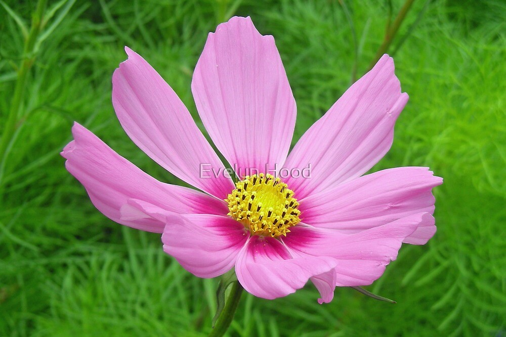 Pink Cosmos Flower by Evelyn Hood