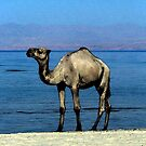 Camel On The Beach Watercolor by Oldetimemercan