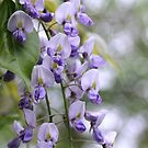 Wisteria and Bokeh by Astrid Ewing Photography