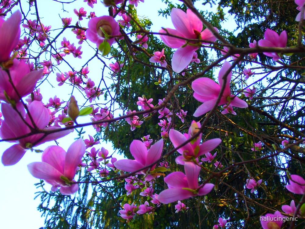 Magnolia by hallucingenic