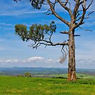 Mt Worth from Heath Hill. Favourite Eucalyptus Tree. by johnrf