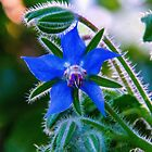 Borage by indiafrank