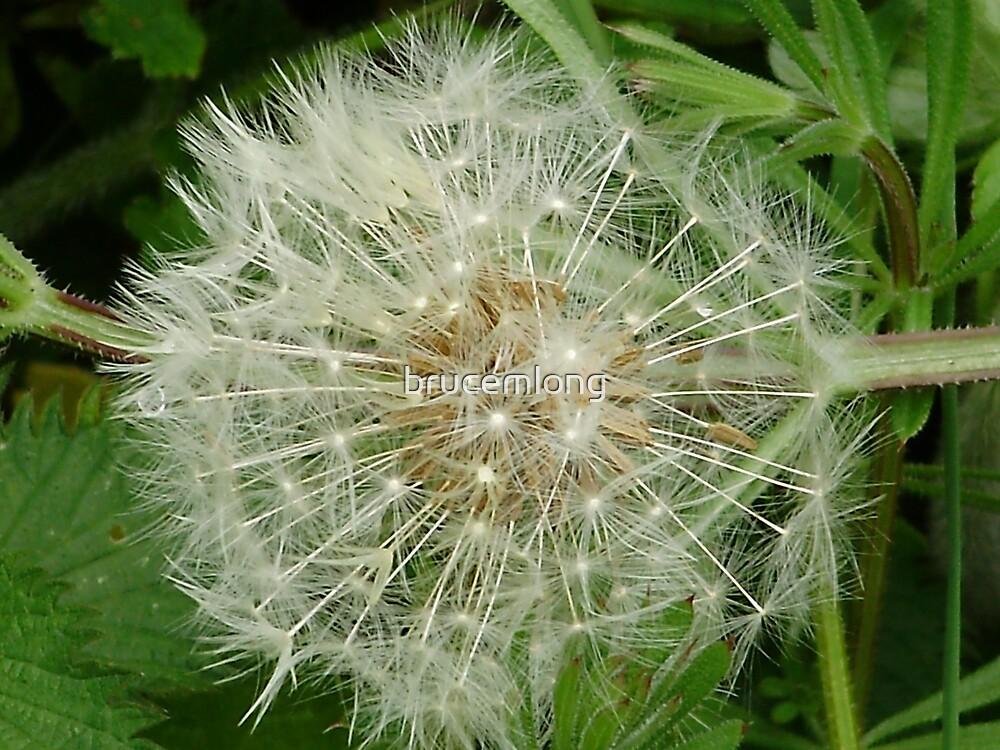 dandelion seeds by brucemlong