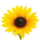 The Golden Yellow Sunflower by Jacqueline Cooper