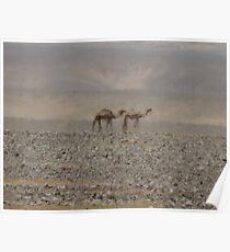 Camels in Jordan 2 Poster