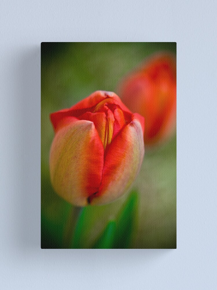 Alternate view of Tulips Opening Slowly Canvas Print