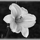 Daylily by Sandy Keeton