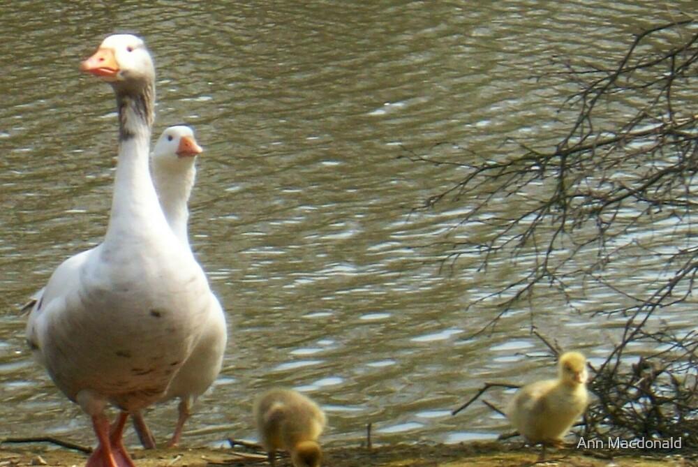 Ducks and Goslings by Ann Macdonald