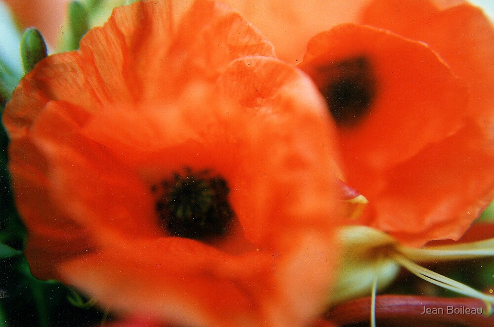 Spring Poppies colour  by Jean Boileau
