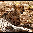 Cheetah in Africa 2014 by maureenclark