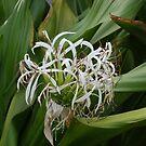 White Hawaiian Flower by Elizabeth Casswell