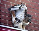 Red Tailed Hawk by Elaine Manley