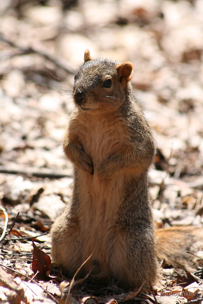 Squirrel by photojunkee