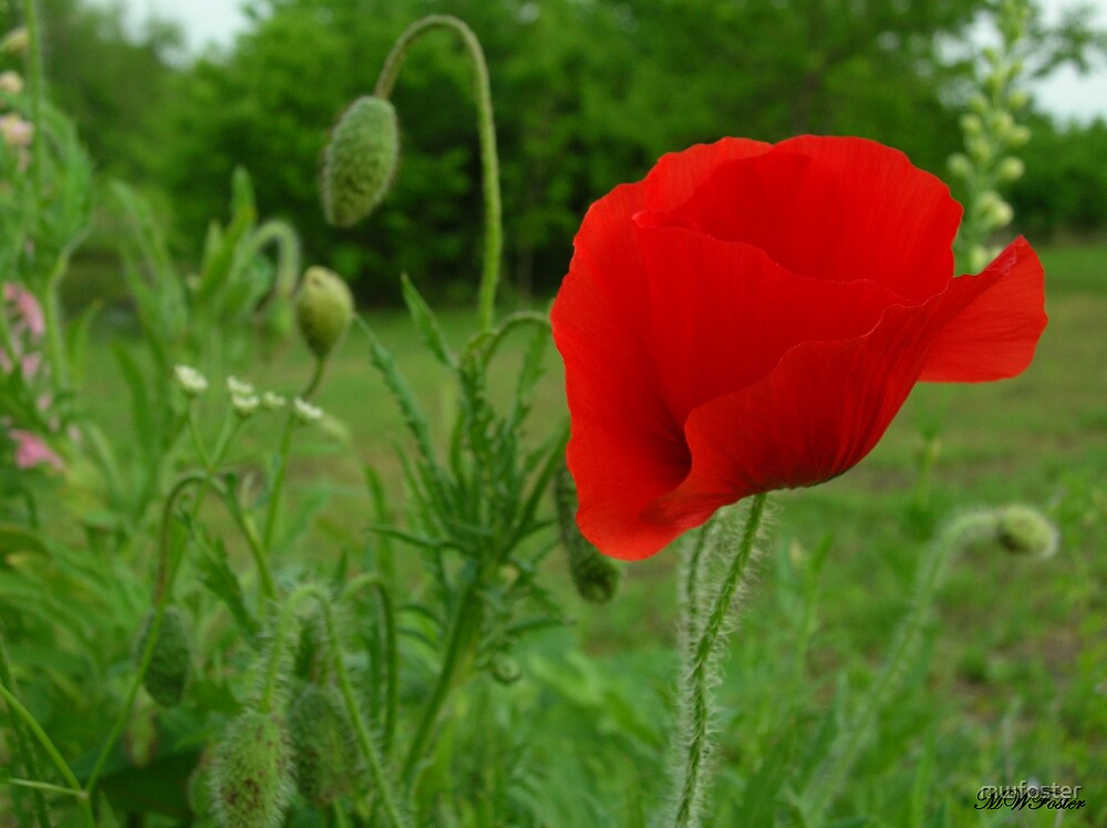 Red Flanders Poppy by mwfoster