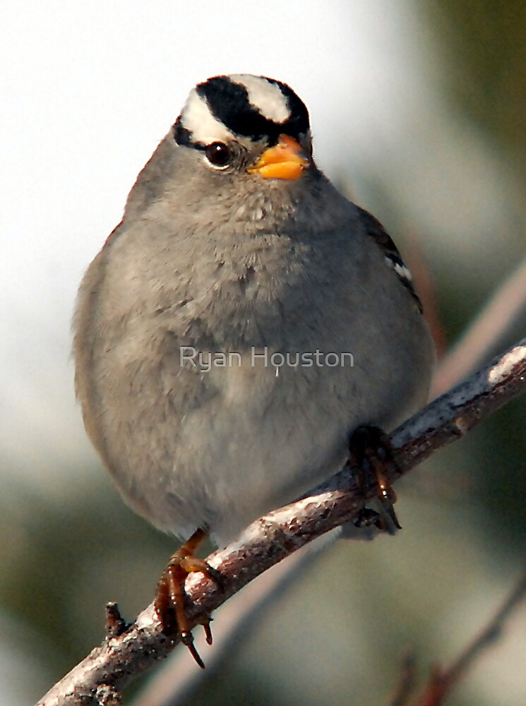 White-Crowned Sparrow - Up Close and Personal by Ryan Houston