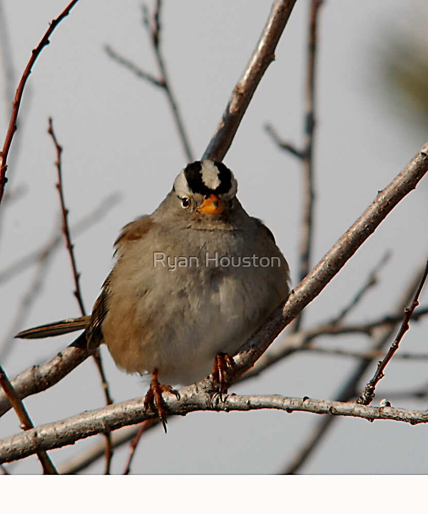 White-Crowned Sparrow - Perched by Ryan Houston