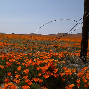 California Poppies by jep983