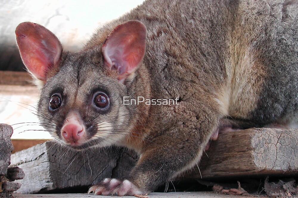 Cheeky Possum by EnPassant