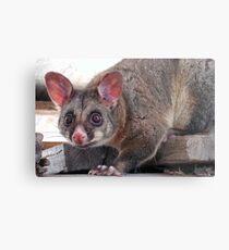 Cheeky Possum Metal Print