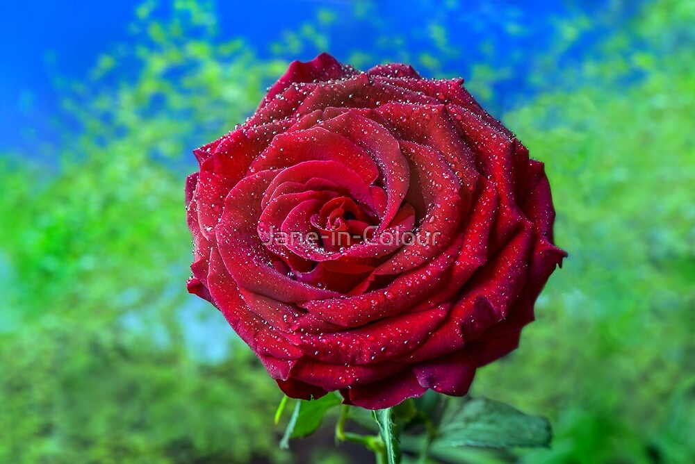 Rose after Rain by Jane-in-Colour