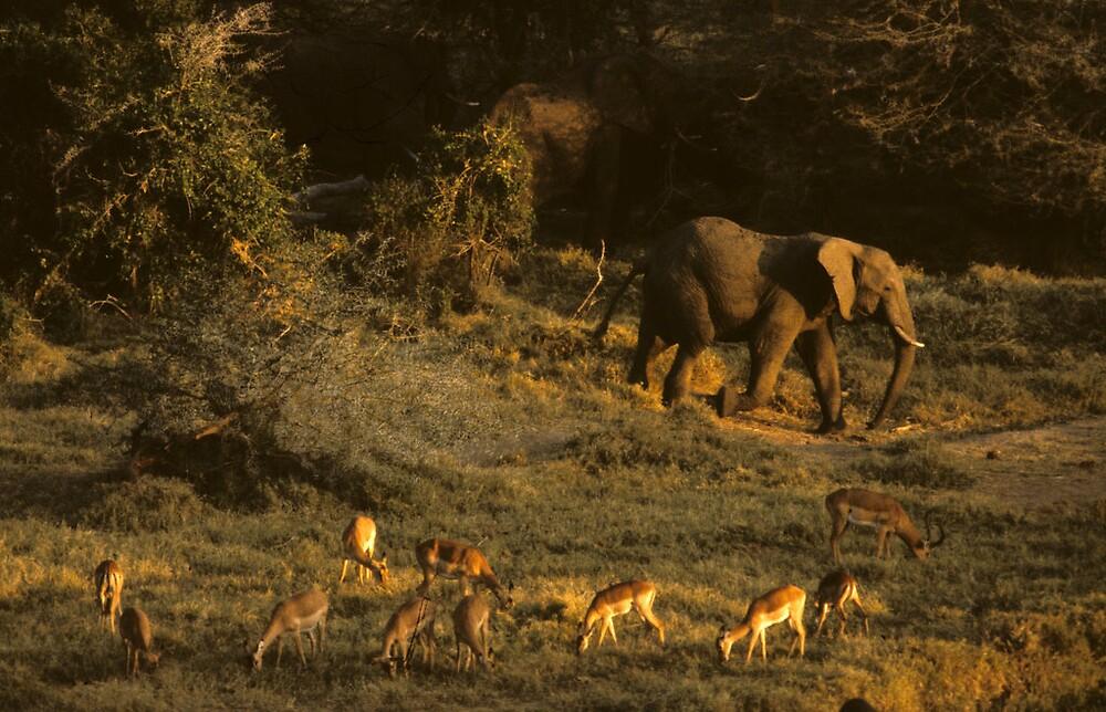 Elephant and Impalas by bertspix
