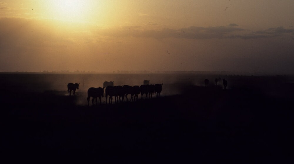 Zebras at dusk by bertspix