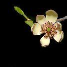 Banana Magnolia Blossom by Bonnie T.  Barry