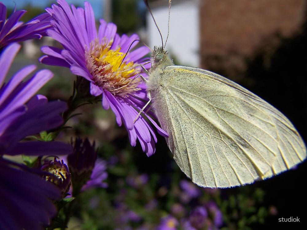 White Butterfly on Purple by studiok