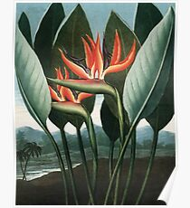 The Queen - The Temple of Flora Botanical Print Poster