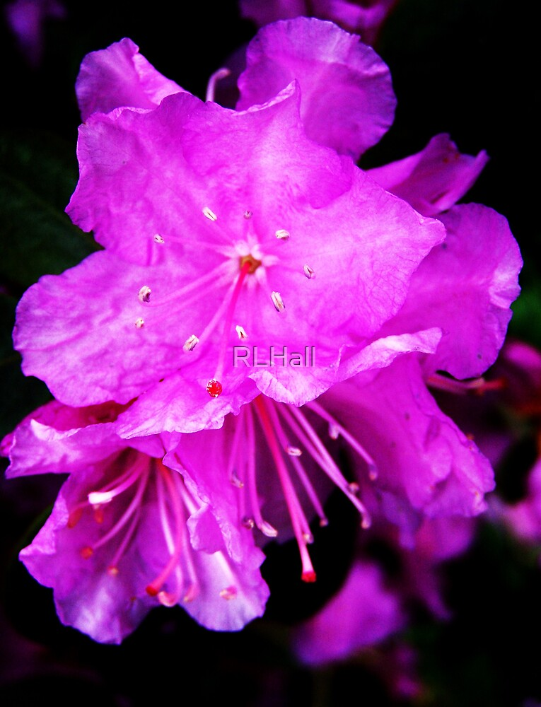 Purple Bright Azalea by RLHall