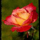 Peace Rose by Jonicool