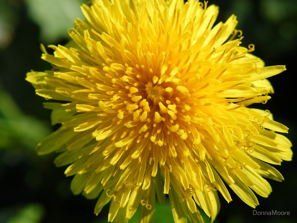 Sunny Dandelion by DonnaMoore
