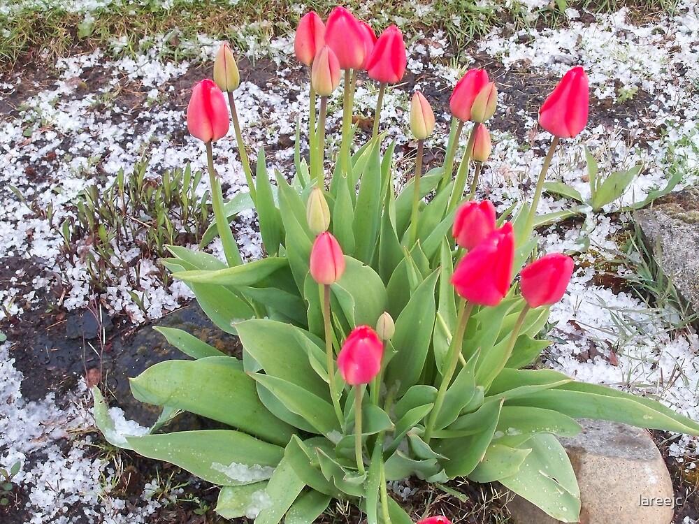Tulips & Hail by lareejc