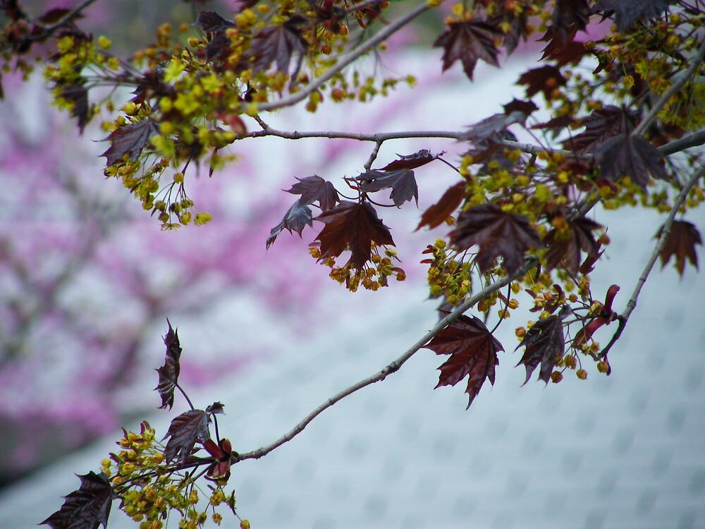 Maple Leaves by stopthat
