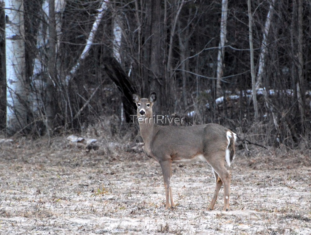 My First Spring Doe by TerriRiver