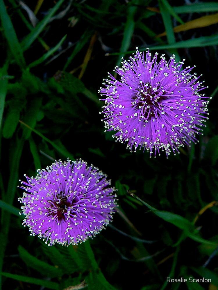 Purple Fireworks   128 Views by Rosalie Scanlon