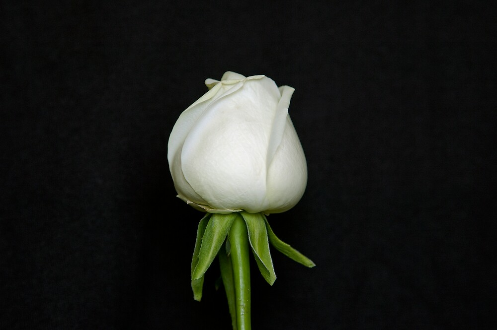 The White Rose by Michael Redbourn
