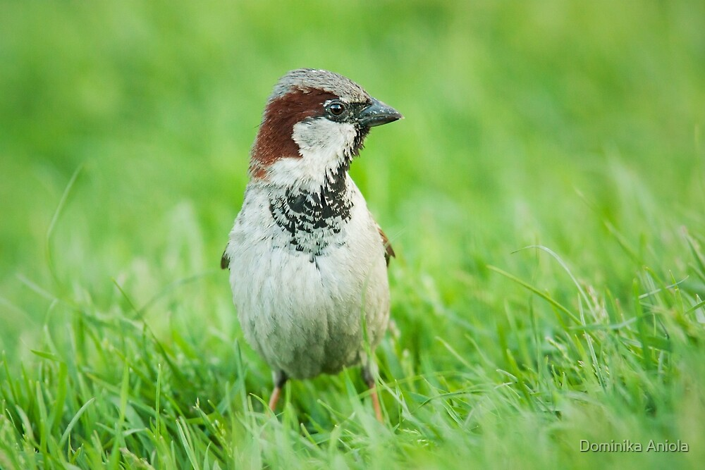 House Sparrow by Dominika Aniola