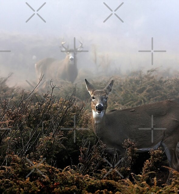 The rut is on! - White-tailed deer in fog by Jim Cumming