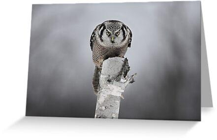Northern Hawk-Owl by Jim Cumming